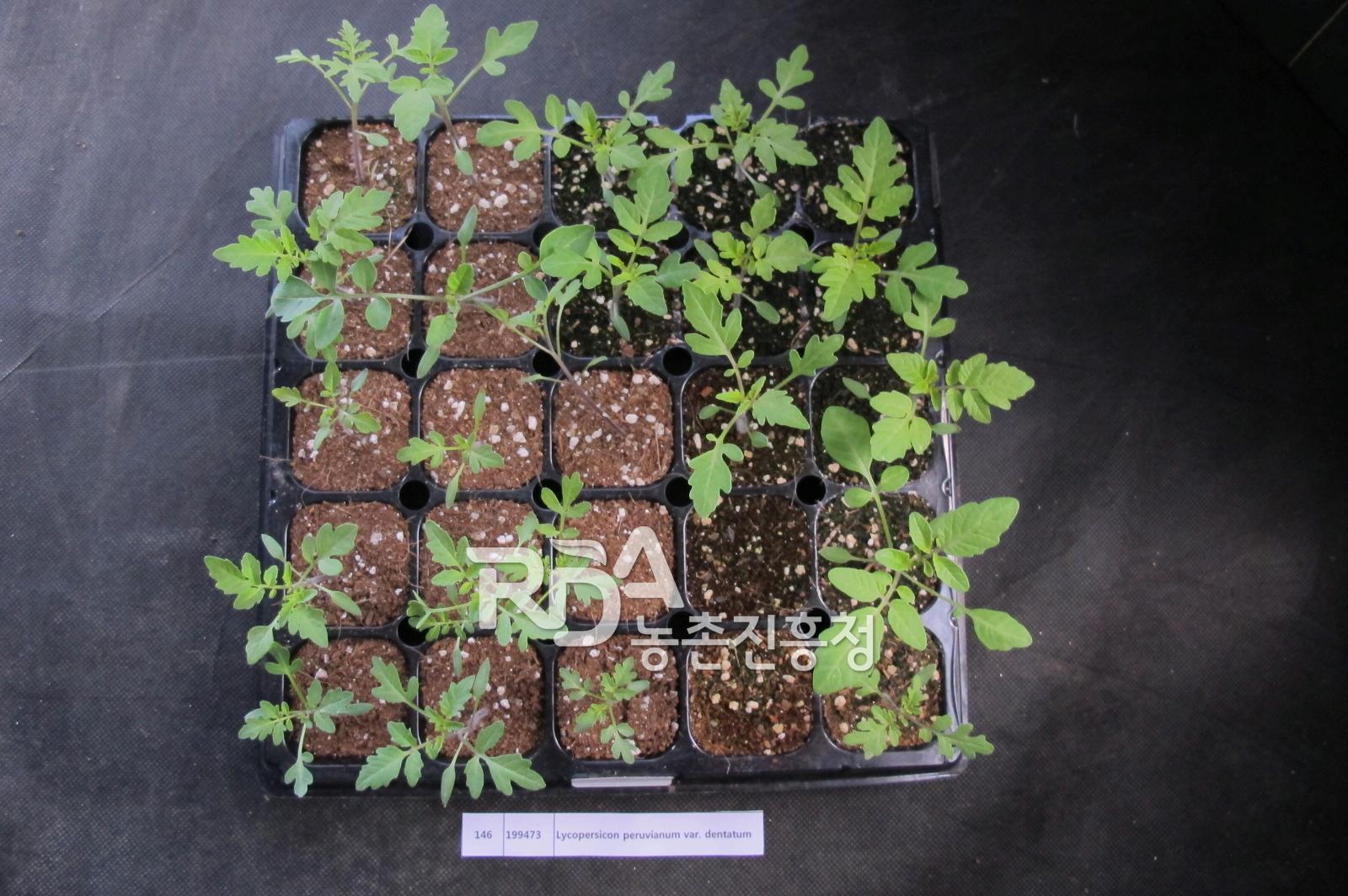 Lycopersicon peruvianum subsp. dentatum(토마토야생종) 대표 이미지