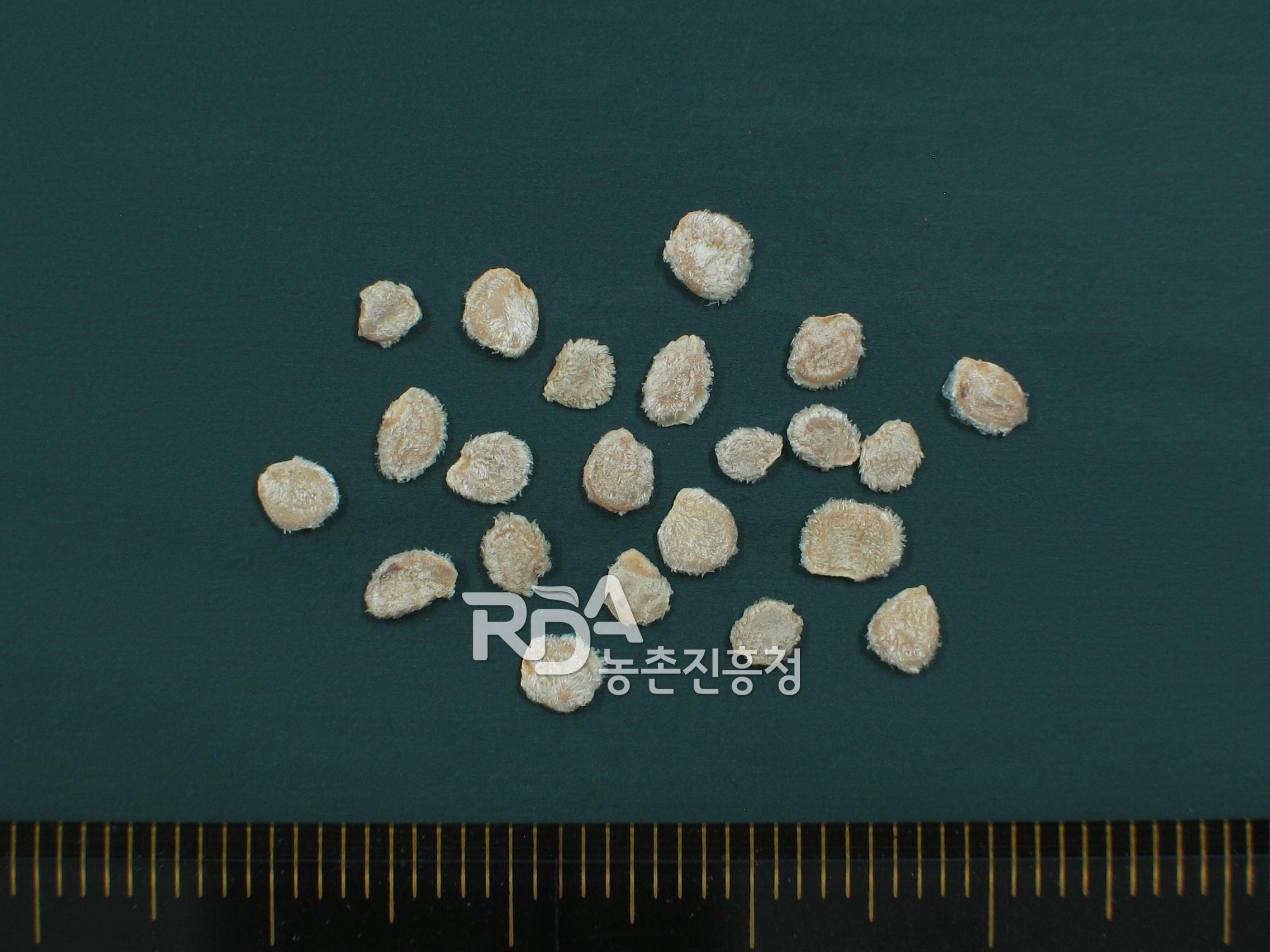Lycopersicon hirsutum forma glabratum(토마토야생종) 대표 이미지