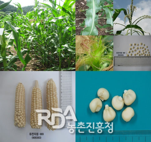Zea mays subsp. mays() 대표 이미지