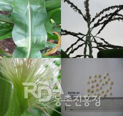 Zea mays subsp. mays() 대표 이미지